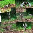 ツツドリの捕食