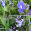 ストレプトカーパスの花は