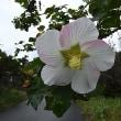 秋雨に咲く花:サキシマフヨウ