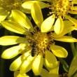 ツワブキの花にクロヒラタアブがいる