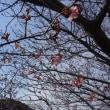 河津桜が見頃だそうですよ~♪