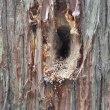 富士山の麓の我が家の杉の木に穴が開けられていた。啄木鳥か?