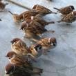 空腹の雀達