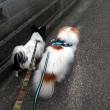 マフィー&シェイラー、日曜日のお散歩