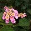 朝露に咲く花々