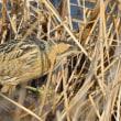 サンカノゴイ 出島野鳥園冬のスターです。