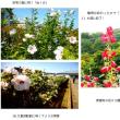 今年も芙蓉の花々が咲き出しました(H29.7.22)