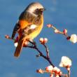 『梅の香』 鳥の来て