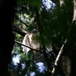 「ツミ」 暗い森の中!