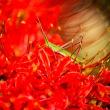 2017 咲きほこる真っ赤なヒガンバナ (直方市 のおがた福地山ろく花公園)