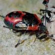 蛾の成虫や幼虫を襲うキュウシュウクチブトカメムシ(幼虫)