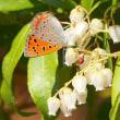 春の武蔵嵐山・・・中世の城郭・・・菅谷館跡・・・馬酔木の花に・・・ベニシジミが