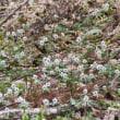 雪の春分の日と節分草