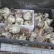ニンニクとインゲン収穫