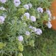 ◎きょうの庭花 5/22 ツユクサ&黄菖蒲・・