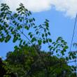 モリンガの木大きく育ってます