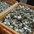 これで200玉、1200片の種ニンニク