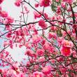 境内 梅の開花情報
