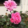 「おはようの花」 バラ(薔薇)(ピンク)1月
