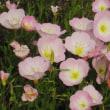 <ヒルザキツキミソウ(昼咲き月見草)> 白~淡紅色の可憐な花姿