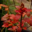 棚場の紅葉 アブラツツジ