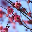 一足早い津田沼の桜です~