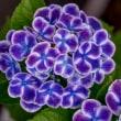 自宅付近の紫陽花…2