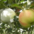 """相模原市・青根地場産  """"つがるリンゴ """" あと少しです・・・(3-1)"""