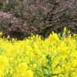 浜離宮恩賜庭園の菜の花・・4