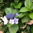 ちょっと遅れた紫陽花