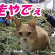 猫たちを留守番させてイケアに行ったらもみの木が売ってた【猫日記こむぎ&だいず】2017 11 30