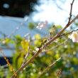 十月桜・二日目開花中10.22