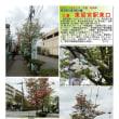花巡り 「花水木-236」 久喜 東鷲宮駅東口