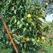 柿が色づきはじめました。