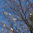 汐入公園を散歩~十月桜、冬桜を眺めて