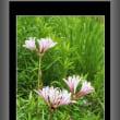 タヌキノカミソリが咲いた