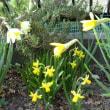 「黒の魚歌/モングン」がいい。&春の花が咲きだした。