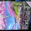 3月3日(土曜日)…河津桜