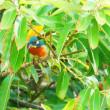 『花水川の野鳥』 カワセミ(5)