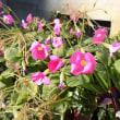 ハナカタバミ 花酢漿草 花片喰