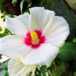 【ムクゲ (木槿)】  Hibiscus syriacus