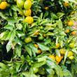 柑橘類の大豊作