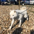 【天然記念物 北海道犬】ソフトバンクのCMに登場し一躍人気となった北海道犬。札幌市内で開催された北海道犬展覧会には全国各地から北海道犬のファンが駆けつけました。引続き北海道犬の応援団として頑張ります。