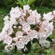 可愛い花 カルミア