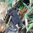 ヒキガエルの幼体