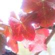 ブドウの紅葉