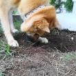 掘るは手で 埋めるは鼻で 使い分け