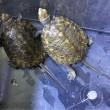 ニホンイシガメ甲長4cm〜13cm