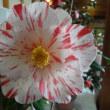 第21回松山城二之丸つばき名花展開催