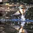 離水中~ カワセミ